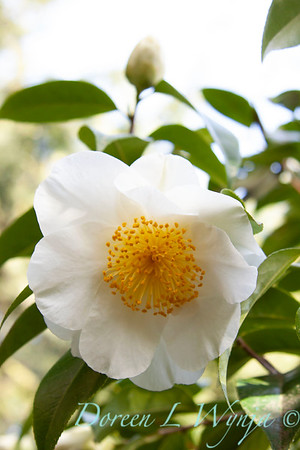 Camellia japonica 'Silver Waves'_004