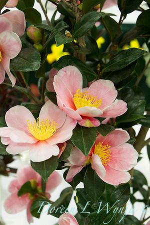Camellia sasanqua 'Mondel' Pink-A-Boo_004