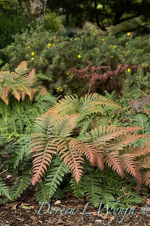 9760 Woodwardia unigemmata fern in a landscape_2624