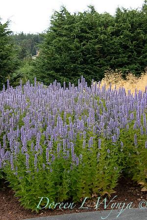 Agastache 'Blue Fortune' landscape_1334