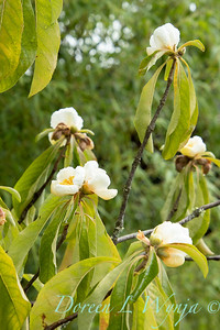 Franklinia alatamaha fall blooms_2680