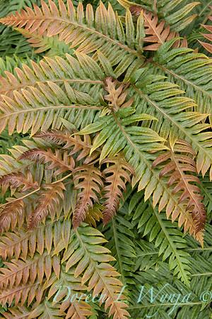 9760 Woodwardia unigemmata fern fronds_2635
