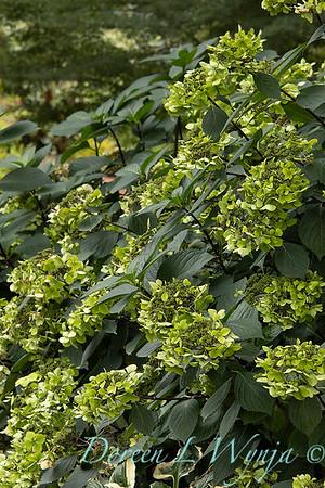 9275 Hydrangea macrophylla 'Monmar' Blue Enchantress in a landscape_2588