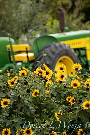 43002 Helianthus x annuus 'TMSNBLEV01' SunBelievable farm tractor landscape_2557