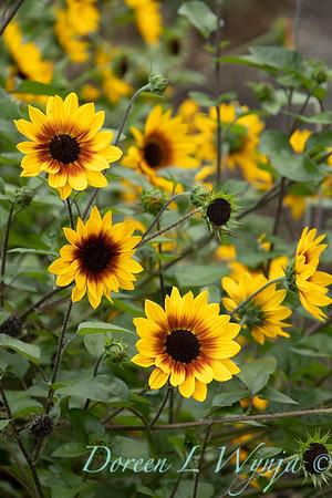43002 Helianthus x annuus 'TMSNBLEV01' SunBelievable flowers_2572