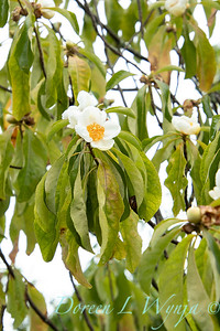 Franklinia alatamaha fall blooms_2679