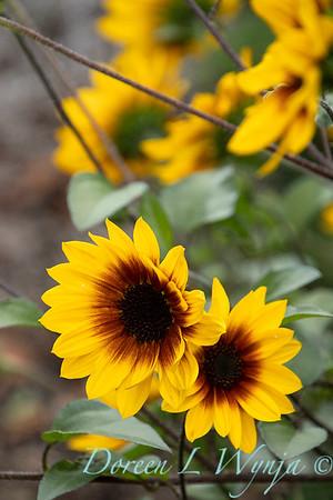 43002 Helianthus x annuus 'TMSNBLEV01' SunBelievable flowers_2570