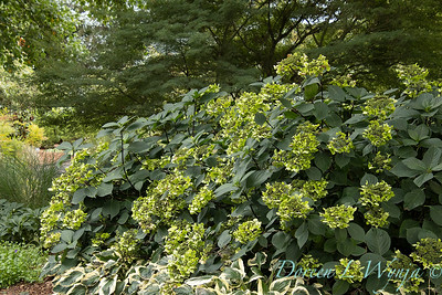 9275 Hydrangea macrophylla 'Monmar' Blue Enchantress in a landscape_2583