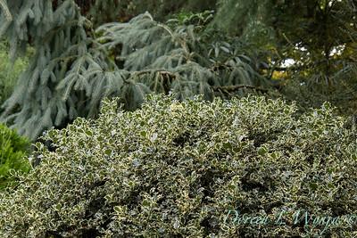 2396 Ilex aquifolium 'Sadezam' Sant's Delight_2644