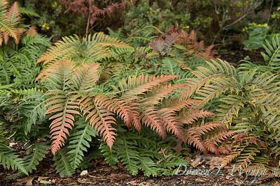 9760 Woodwardia unigemmata fern in a landscape_2622