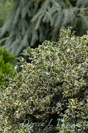 2396 Ilex aquifolium 'Sadezam' Sant's Delight_2646