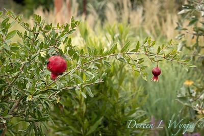 6747 Punica granatum 'Nochi Shibari' with fruit_9518