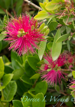 41365 Callistemon viminalis 'Neon Pink'_9483