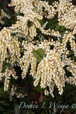 4953 Pieris japonica 'White Pearl'_0936