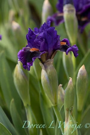 Sebright Iris_126