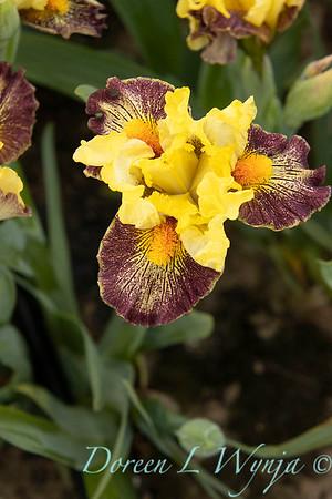 Sebright Iris_136