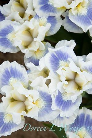 Sebright Iris_157