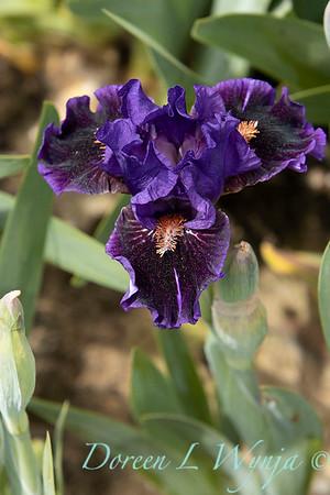 Sebright Iris_125
