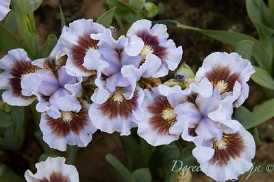 Sebright Iris_128