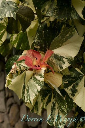 Hibiscus tiliaceus varigated Mahoe_001
