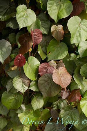 Hibiscus tiliaceus Hau_020