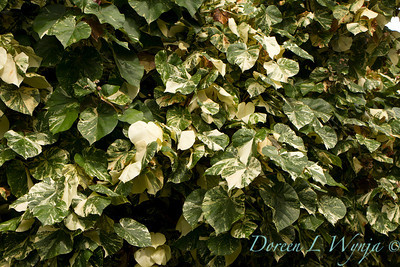 Hibiscus tiliaceus varigated Mahoe_010
