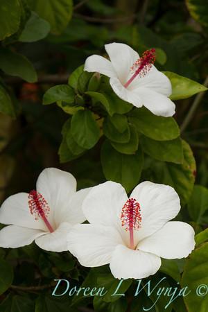 Hibiscus arnottianus_0224