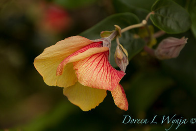 Hibiscus tiliaceus Hau_017