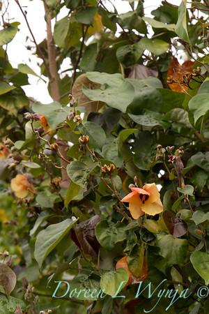 Hibiscus tiliaceus Hau_010