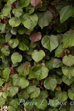 Hibiscus tiliaceus Hau_024