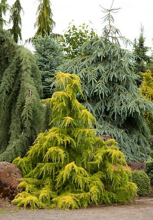 Cedrus deodara Gold Cascade - Picea engelmannii Bush's Lace_001