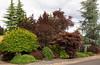 Acer palmatum - Picea abies Pendula - Prunus cerasifera Thundercloud - Acer palmatum Burgundy Lace_1654