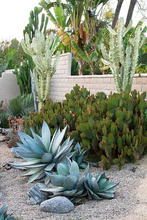 Agave - Opuntia microdasys - Euphorbia ammak Variegata_1183SUN