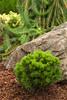 Pinus mugo Mitsch Mini_0955SUN