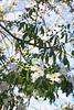 Chorisia speciosa Alba_1541