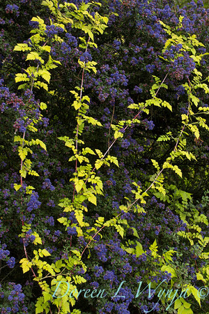 Ceanothus 'Dark Star' - Rubus cockburnianus Golden Vale_799