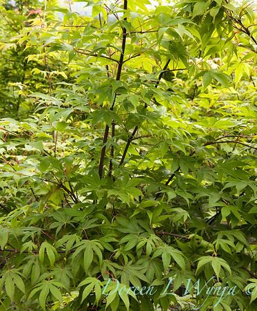 1834 Acer palmatum Osakazuki_002