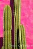 Trichocereus pachanoi_1825
