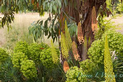 Euphorbia characias Bruces Dwarf_004