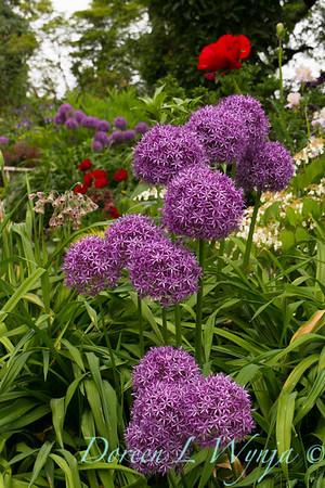 Allium rosenbachianum_001