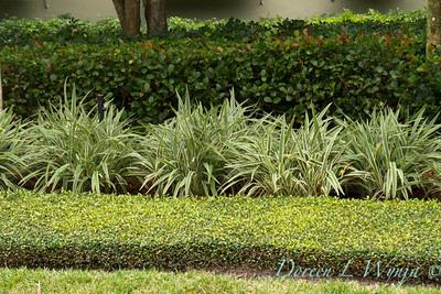 Dianella tasmanica Variegata Trachelospermum asiaticum_1430