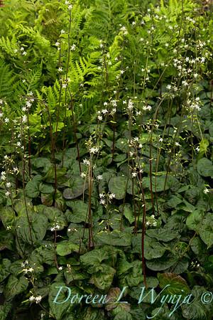 5002 Beesia deltophylla_002