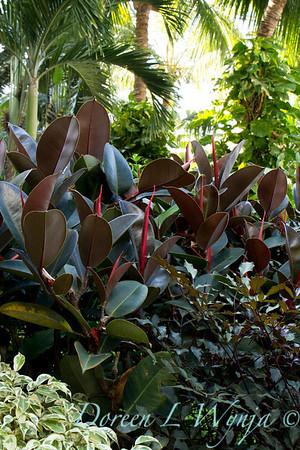 Ficus elastica_1844