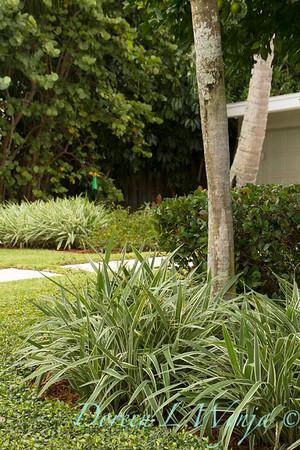 Dianella tasmanica Variegata Trachelospermum asiaticum_1435