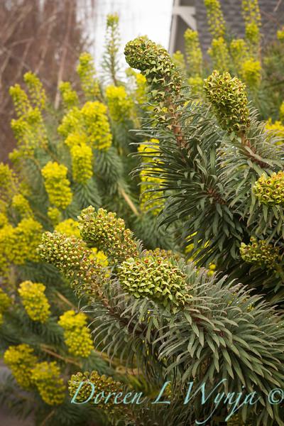 Euphorbia characias subsp wulfenii_024