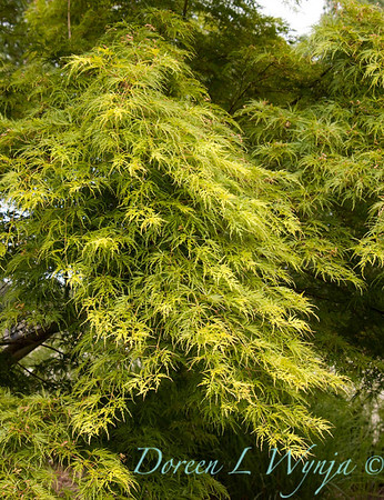 1834 Acer palmatum Osakazuli_016