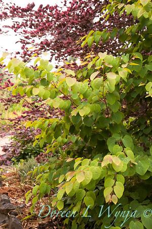 Cercidiphyllum japonicum Raspberry_009