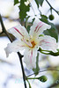 Chorisia speciosa Alba_1553