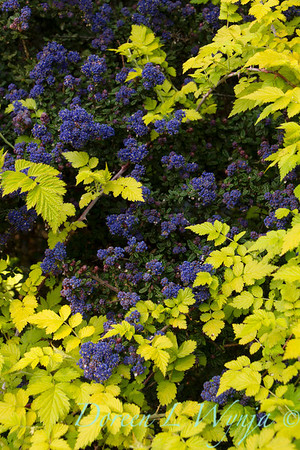 Ceanothus 'Dark Star' - Rubus cockburnianus Golden Vale_803