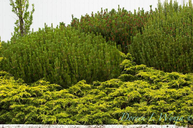 Juniperus Gold Coast_024